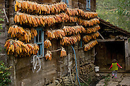 In autumn garlands of sweet corn hung outside to dry festoon houses on the Black Sea coast. Used as animal feed further south, dried corn is a dietary staple on the Black Sea: ground for breads and cracked or left whole to add to soups and dishes like dible, a buttery pilaf of cracked corn, kale and collard greens.