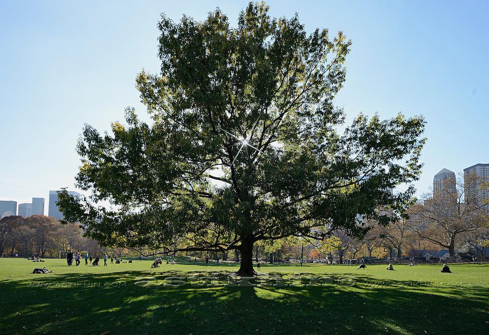 Tree in Central Park, Manhattan.