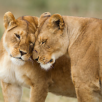 Tanzania, Ngorongoro Conservation Area, Ndutu Plains, Lioness (Panthera leo) greeting badly scarred older lioness on open savanna