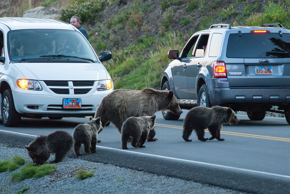 A grizzly bear (Ursus arctos) crosses a road with her four cubs in Yellowstone National Park, Wyoming