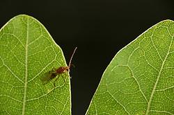 Männliche Schwammgallwespe (Biorhiza pallida) sucht zwischen den Eichenblättern nach einer Galle, aus der noch unbegattete Weibchen schlüpfen.   The Gall wasp (Biorhiza pallida) is very specialised an lives only on oak leafs.