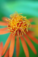 Tropical orange flower-- Nevis