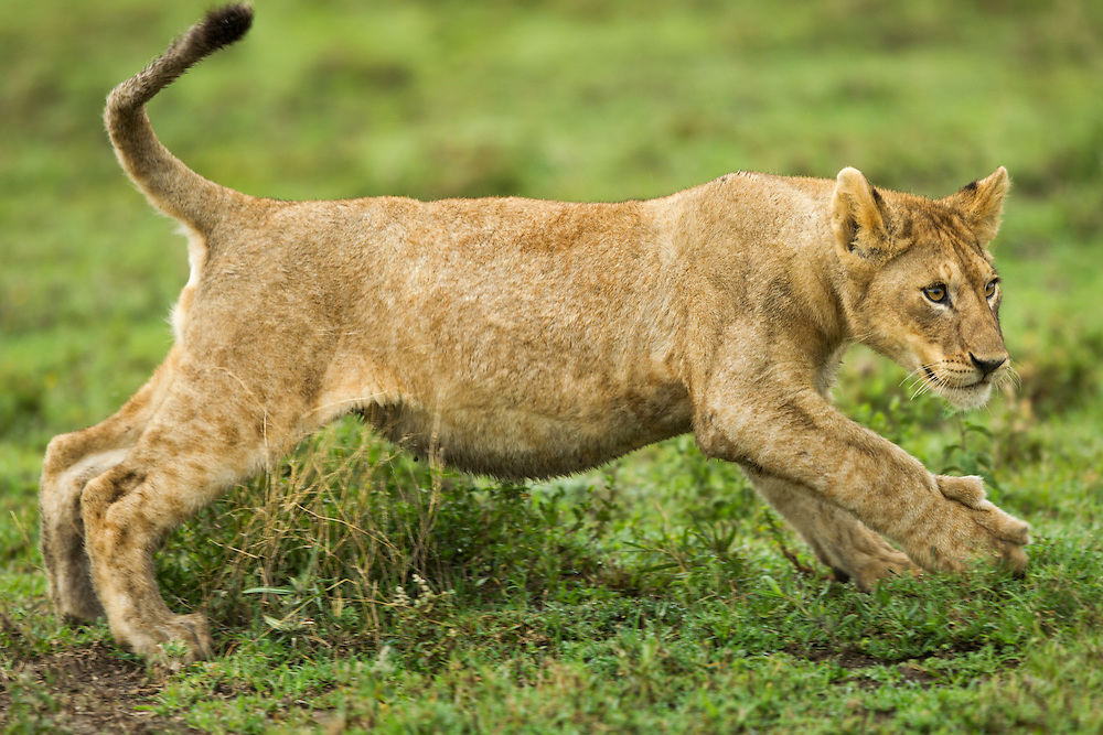 Tanzania, Ngorongoro Conservation Area, Ndutu Plains, Lion Cub (Panthera leo) runs while playing with rest of pride open savanna