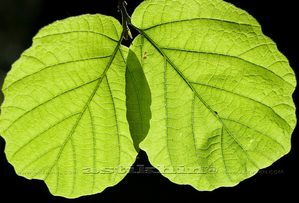 Pair of Leaves