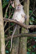 Long-tailed or crab-eating Macaque (Macaca fascicularis) by Kinabatangan River, Sabah