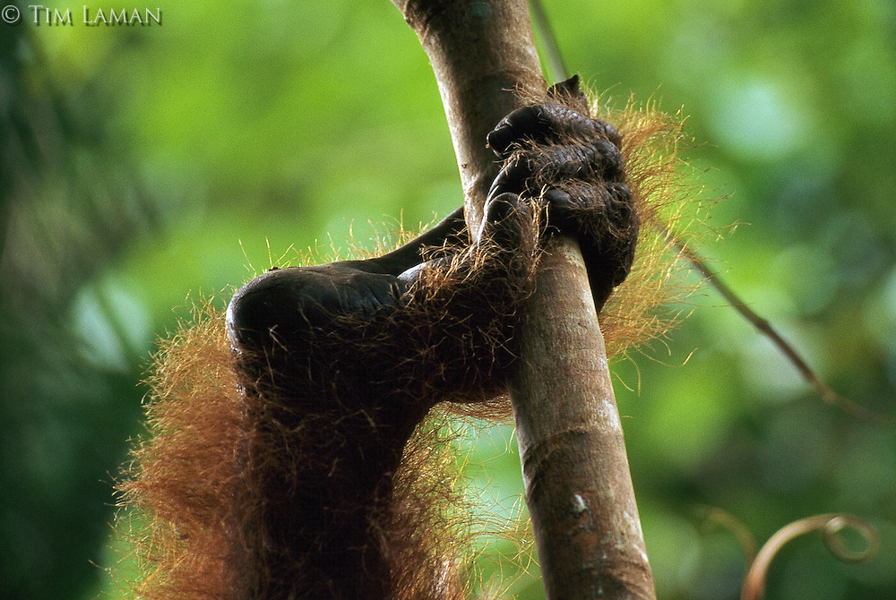Close view of an orangutan's hand-like right foot clasping a branch.