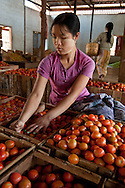 Nyaung Sheve, carefully handsorting tomatoes, near Inle Lake, Burma