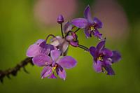 Orchid (Spathoglottis pacifica)