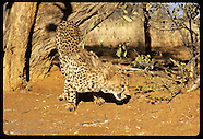 03: CHEETAH SNIFFING, BODY DETAILS