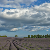 Blooming Lavender field near Valensole,Provence,France<br /> Model release 0350