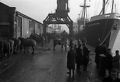 "1960 - Horses for export bound for Dieppe on the ""City of Waterford"""