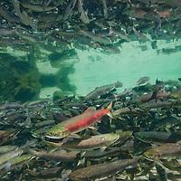 USA, Alaska, Katmai National Park, Underwater view of spawning Chum and Red Salmon in stream near Kuliak Bay in late summer.