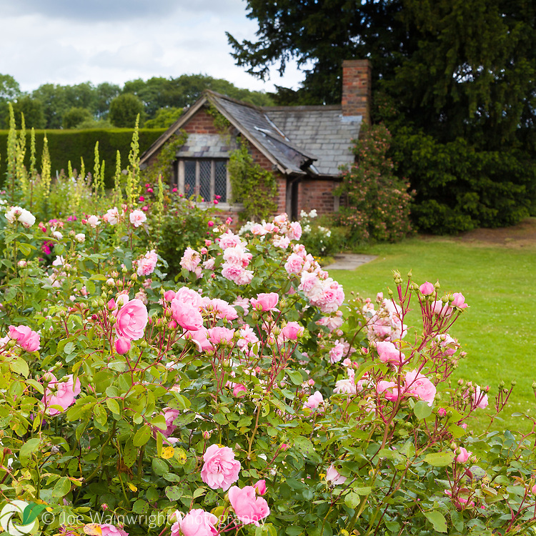 Pink roses at Arley Hall, Cheshire, with the garden's Tea Cottage in the background.