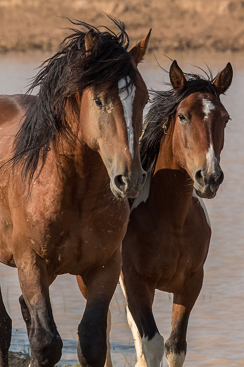 The band stallion, Tyke, and his mare, Shadows, leave the waterhole on a sweltering summer day at McCullough Peaks Herd Management Area.
