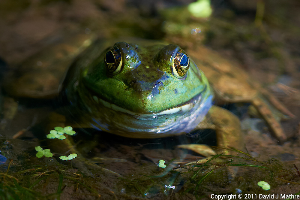 Kermit the Bullfrog at the Sourland Mountain Reserve.  Image taken with a Nikon D3x and 500 mm  f/4 VR lens (ISO 400, 500 mm, f/4, 1/400 sec). Raw image processed with Capture One Pro, Focus Magic, Nik Define, and Photoshop CS5.