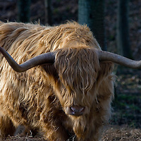 Close up Highland Cattle bullock, head down, clearly showing horns, Perth and Kinross,