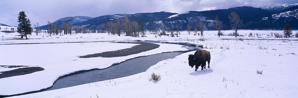 USA, Wyoming, Yellowstone National Park, American bison (Bison bison) in late winter snows