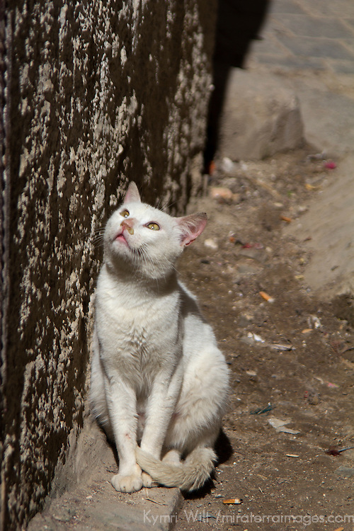 Africa, Morocco, Fes. White cat in Fes.
