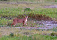 Caracal (Caracal caracal) looking for prey in the grassland of the Ngorongoro Crater, Tanzania, Africa