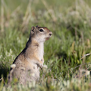 A Belding's Ground Squirrel (Spermophilus beldingi) pokes its head above its burrow in the Tuolumne Meadows of Yosemite National Park, California. Belding's Ground Squirrels are found in sagebrush and high mountain meadows in the Sierra Nevada mountains and in northeastern California.