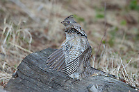Ruffed grouse courtship display in Wyoming