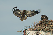 Bald Eagle Fledging 2012
