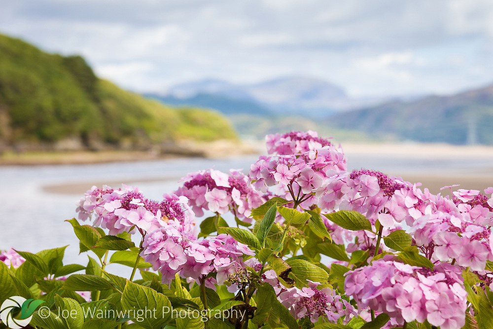 The shape of a hydrangea shrub is echoed in the nearby hillsides at Portmeirion, North Wales - photographed in August
