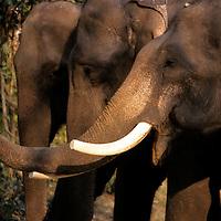 Asia, Nepal, Chitwan. Asian Elephants of Chitwan National Park.
