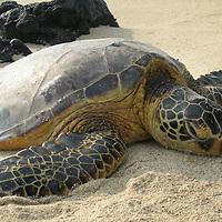 Hawaii, Turtle basking on beach