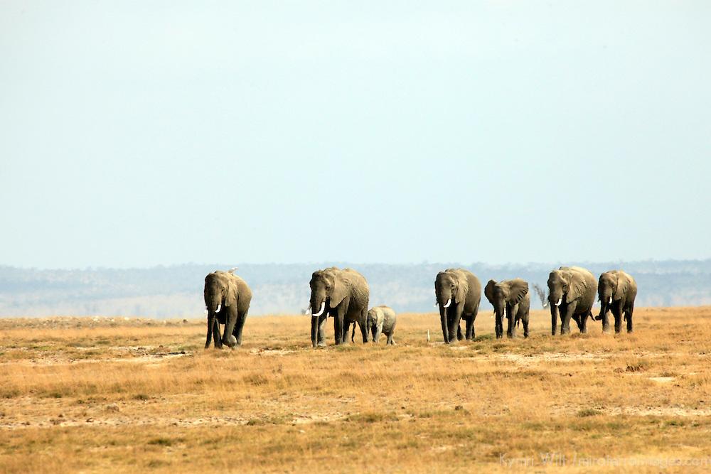 Africa, Kenya, Amboseli. A matriarchal group of elephants in Amboseli.