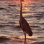 Great blue heron (Ardea herodias). Delnor-Wiggins Pass State Park, Naples, Florida.