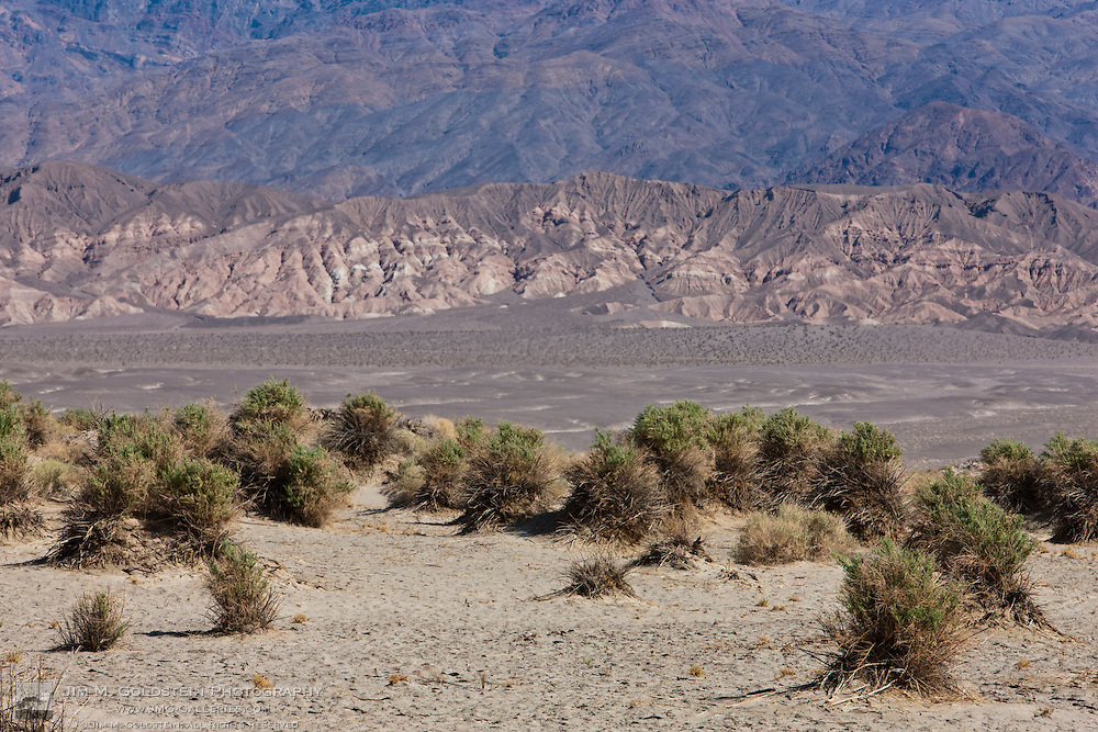 Arrow-weed (Pluchea sericea) plants at Devil's Cornfield - Death Valley National Park, California