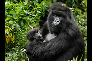 A mother Mountain Gorilla hold her baby while taking a break from feeding at the Virunga National Park in Rawanda on Friday November 24, 2006. (© photo by Jakub Mosur)