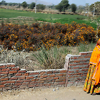 Asia, India, Rajasthan. Woman in orange sari stands roadside by field of orange flowers.