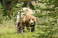 A Grizzly Bear Eating Lunch Near Peyto Lake in Banff National Park<br /> <br /> &copy;2015, Sean Phillips<br /> http://www.RiverwoodPhotography.com