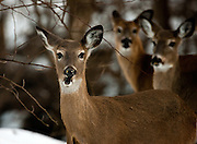 White Tailed Deer in winter