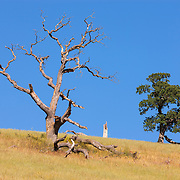 Two oak trees — one young and vibrant, the other old and weathered — stand at the top of a hill in the foothills of Mount Diablo near Clayton, California.
