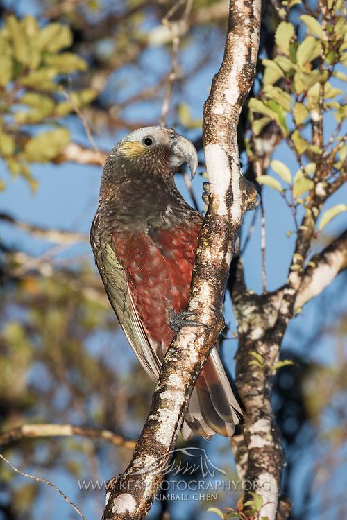 Kaka parrot in the forest, Stewart Island