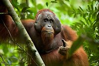 Bornean Orangutan - &quot;wurmbii&quot; subspecies<br />(Pongo pygmaeus wurmbii)<br /><br />Adult male &quot;Codet&quot;<br /><br />Cabang Panti Research Station<br />Gunung Palung National Park<br />West Kalimantan, Indonesia<br />Borneo Island