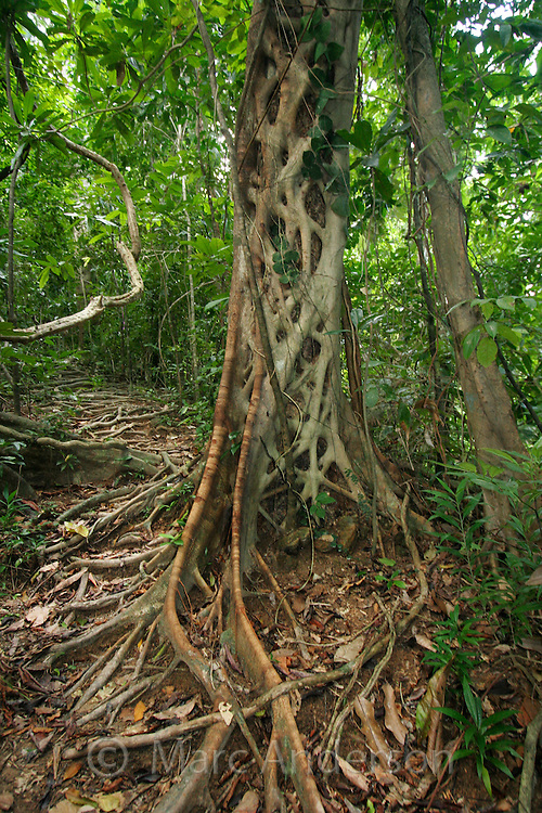 A strangler fig in a tropical rainforest, along the Monkey Trail in the Puerto Princesa Subterranean River National Park , Palawan, Philippines