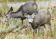 NEWS&GUIDE PHOTO / PRICE CHAMBERS.Mule deer is one of the less elusive species of wildlife that can be seen while on a trip with Wilderness Expeditions.