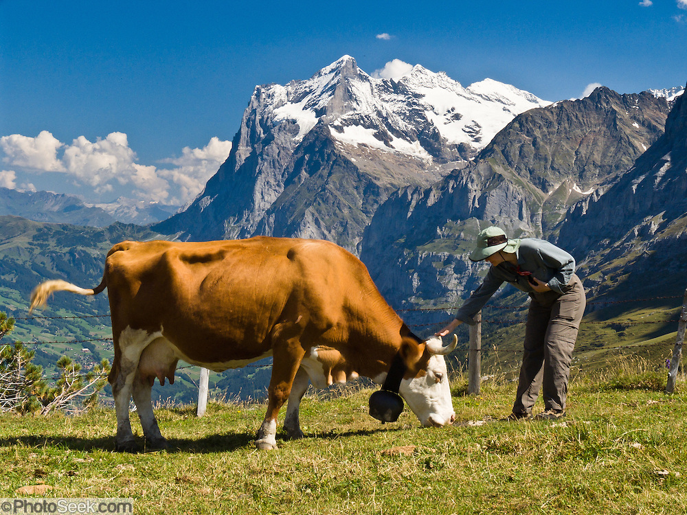 """The Wetterhorn or """"Weather Peak"""" (12,143 feet) rises above a cow pasture at Kleine Scheidegg in the Berner Oberland, Switzerland, the Alps, Europe. A hiker pets a large cow. The Bernese Highlands are the upper part of Bern Canton. In 2001, UNESCO honored Jungfrau-Aletsch-Bietschhorn as a World Heritage Area. UNESCO lists """"Swiss Alps Jungfrau-Aletsch"""" as a World Heritage Area (2001, 2007). Published in Wilderness Travel 2013 Catalog."""