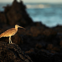 A whimbrel stands on black lava rock wile cruising the shore for food on Isabela island, Galapagos on 6/22/09.