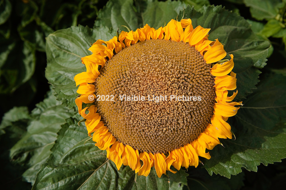 Giant orange sunflower.