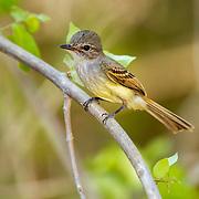 Flammulated Flycatcher <br /> Deltarhynchus flammulatus<br /> Tehualmixtle, Jalisco, Mexico<br /> 13 June    Adult     Tyrannidae