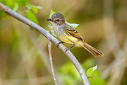 Flammulated Flycatcher <br /> Deltarhynchus flammulatus<br /> Tehualmixtle, Jalisco, Mexico<br /> 13 June    Adult     Tyrannidae