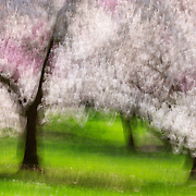 The movement of the camera during a long exposure turns the colorful blossoms of cherry trees in the Washington Park Arboretum, Seattle, Washington, into a colorful, impressionistic scene.