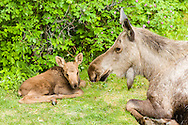 A cow and newborn calf moose (Alces alces) find rest and refuge from predators in a yard in Eagle River in Southcentral Alaska. Spring. Afternoon.