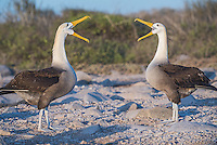 Waved albatross bill fencing at Punta Suarez on Espanola in the Galapagos Island, Ecuador.