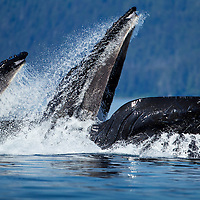USA, Alaska, Angoon, Humpback Whales (Megaptera novaengliae) lunge from sea while bubble net feeding along Chatham Strait on summer day